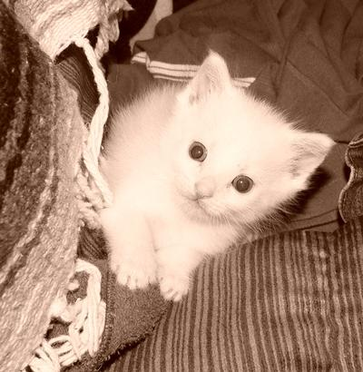 Denise  Jenks White Kitten