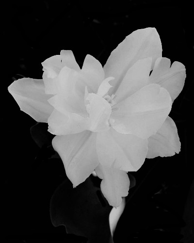 Tulip 4 in Black and White