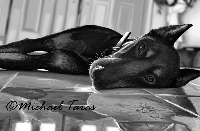 Michael Taras Doberman