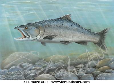 Male Salmon