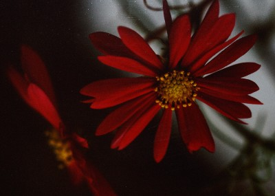 Double Red Gerbera